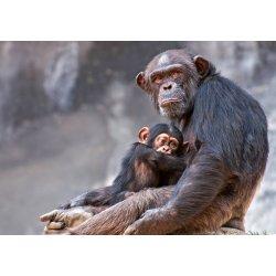 Okosabbak vagyunk egy csimpánznál?
